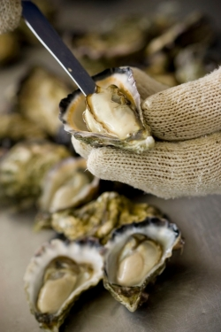 oysters - ocean foods international